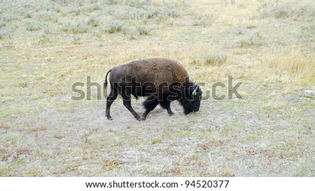 American bison or buffalo (Bison bison), Yellowstone National Park, UNESCO World Heritage Site, Wyoming, United States - stock photo