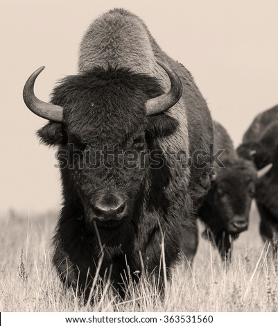 American bison or buffalo in sepia. The herd of american bison (buffalo). Sepia shot of one american bison. - stock photo