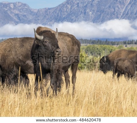 American bisons (Bison bison) grazing in highland prairie, Grand Teton National Park, Wyoming, USA