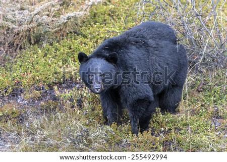 American Black Bear - stock photo