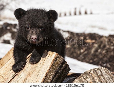 American black bear cub climbing and playing on a wood pile.  Springtime in Wisconsin. - stock photo