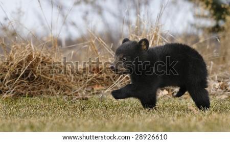 American Black Bear Cub (Ursus americanus) Runs Across Grass - weeds in background - captive animal - some motion blur - stock photo