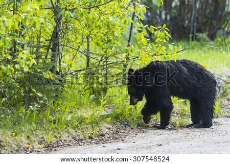 American Black Bear in the springtime, Jasper National Park Alberta Canada - stock photo