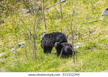 American Black Bear mother and cubs in the springtime, Jasper National Park Alberta Canada - stock photo