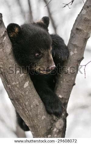 American Black Bear (Ursus americanus) Cub in Tree - captive animal - stock photo