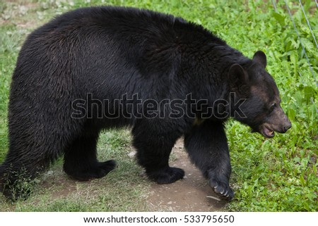 American black bear (Ursus americanus). Wildlife animal.