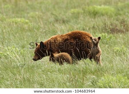 American black bear (Ursus americanus) with cubs, Glacier National Park, Montana - stock photo