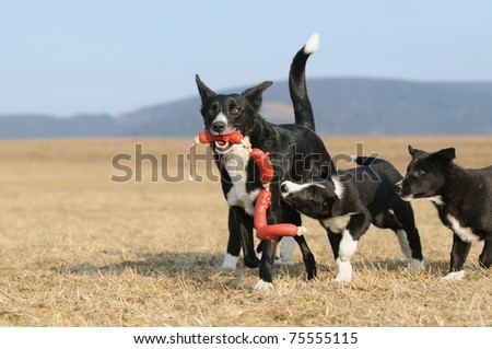 American Border Collie puppy 8 weeks plays with mummy - stock photo