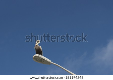 American brown pelican in Florida - stock photo