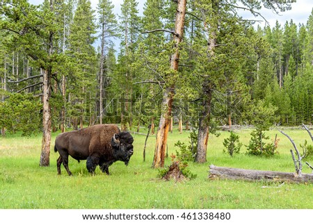 American Buffalo (Bison bison) In The Yellowstone National Park, Wyoming, USA.