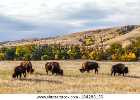 American buffalo / bison herd grazing in Custer State Park, South Dakota - stock photo