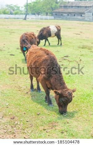 American buffalo in farm - stock photo