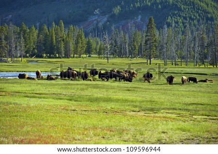 American Buffalo in Yellowstone National Park. North American Wildlife Photo Collection. - stock photo