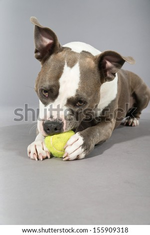 American bull terrier gnawing a tennis ball. Brown with white spots. Studio shot against grey. - stock photo