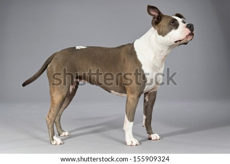 American bull terrier portrait. Brown with white spots. Studio shot against grey. - stock photo