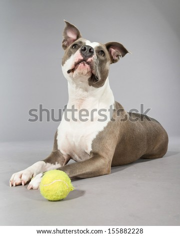 American bull terrier with a tennis ball. Brown with white spots. Studio shot against grey. - stock photo