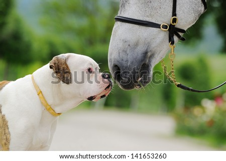American bulldog and horse - stock photo