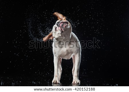 American Bulldog, dog Motion in the water, active dogs, aqueous shooting - stock photo