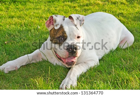 American bulldog in the park . - stock photo
