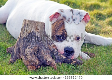 american bulldog lying near stump - stock photo