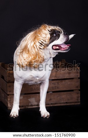 american bulldog on black background glasses hair