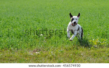 American bulldog pup happily bounding through a field on her farm in the summer sunshine.