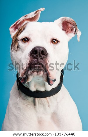 brown and white american bulldog white boxer dog stock photo 478936 shutterstock 3210