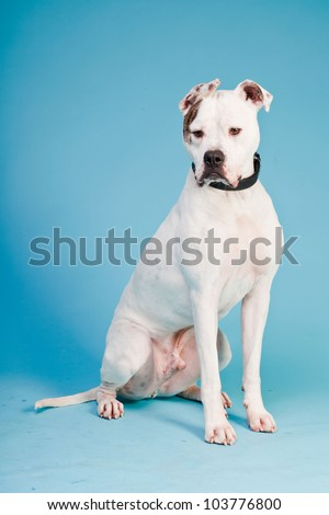 American bulldog white brown isolated on light blue background. Studio shot. - stock photo