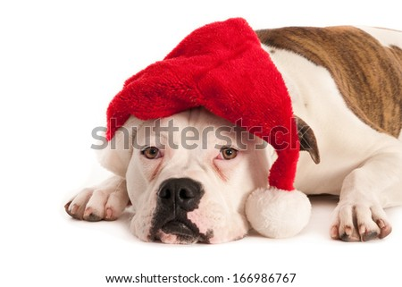 American bulldog with Santa hat isolated on white