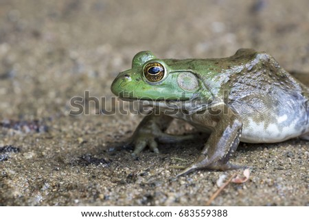 American bullfrog (Lithobates catesbeianus or Rana catesbeiana) near water stream, Ledges State Park, Iowa, USA.