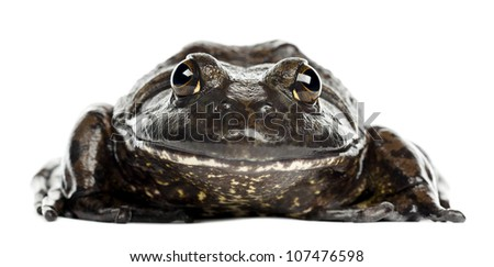 American bullfrog or bullfrog, Rana catesbeiana, portrait against white background - stock photo