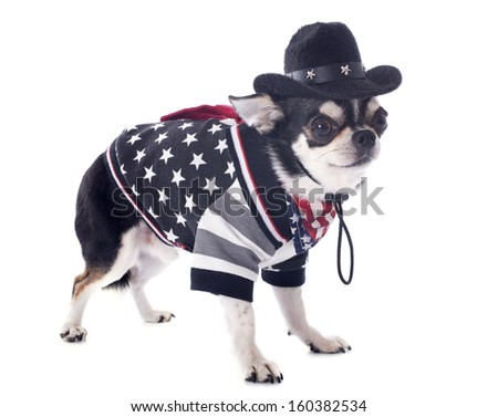 american chihuahua in front of white background - stock photo