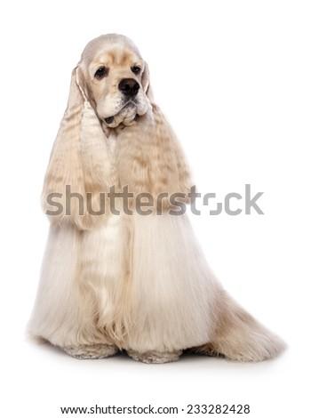 American Cocker Spaniel - stock photo