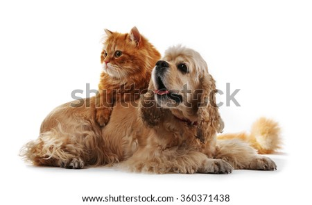 American cocker spaniel and red cat together isolated on white - stock photo