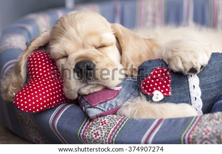 American Cocker Spaniel and valentine heart - stock photo