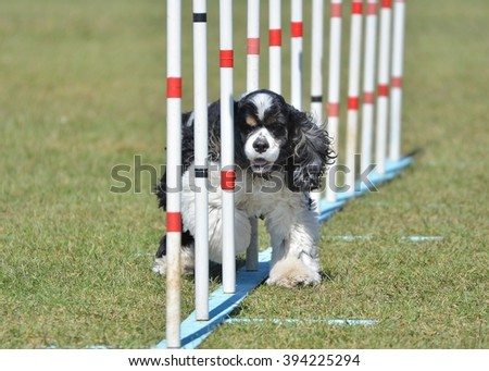American Cocker Spaniel Doing Weave Poles at Dog Agility Trial - stock photo