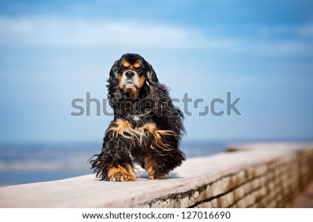 american cocker spaniel goes on sky background - stock photo