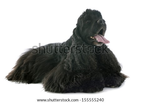 american cocker spaniel in front of white background - stock photo
