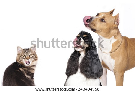 american cocker spaniel licks muzzle tongue - stock photo