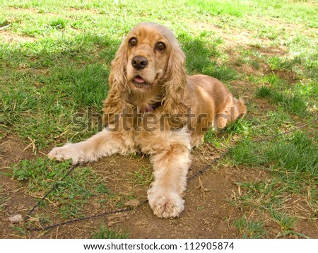 American cocker spaniel lying in the garden - stock photo