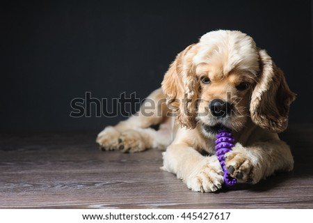 American cocker spaniel lying on dark background. Young purebred Cocker Spaniel.