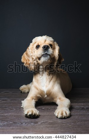 American cocker spaniel lying on dark background. Young purebred Cocker Spaniel. Dog Staring. - stock photo