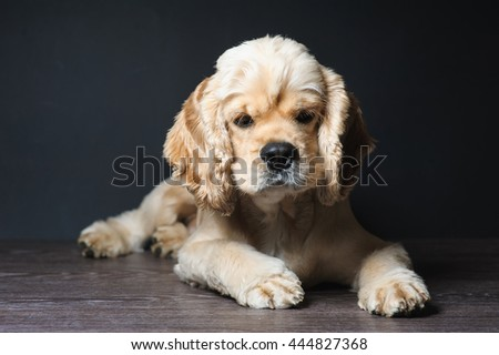 American cocker spaniel lying on dark background.Young purebred Cocker Spaniel. Dog Staring at Camera. - stock photo