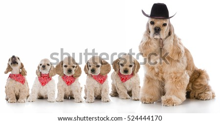 american cocker spaniel mother with her litter of puppies on white background