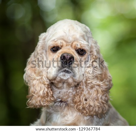 American Cocker Spaniel on blured nature background - stock photo