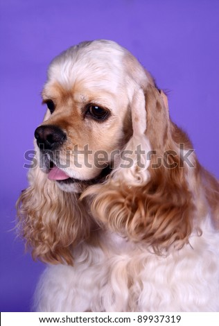 American cocker spaniel on the lilac background - stock photo