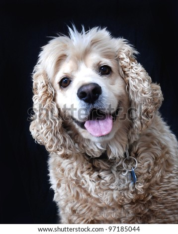 American Cocker Spaniel portrait. Isolated on black. - stock photo