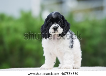 american cocker spaniel puppy standing outdoors in summer