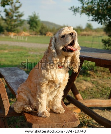 American Cocker Spaniel sitting on a bench - stock photo