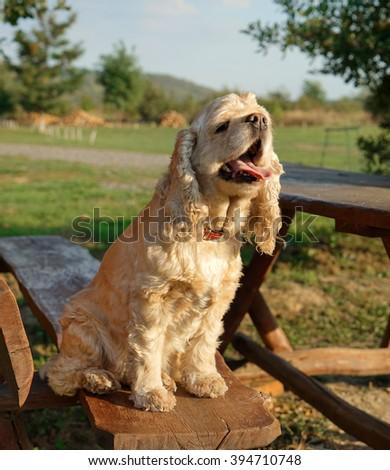 American Cocker Spaniel sitting on a bench - stock photo